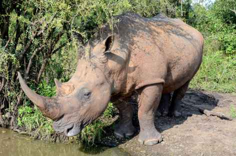 Rhinocéros blanc, réserve Ebandla - Afrique du Sud -
