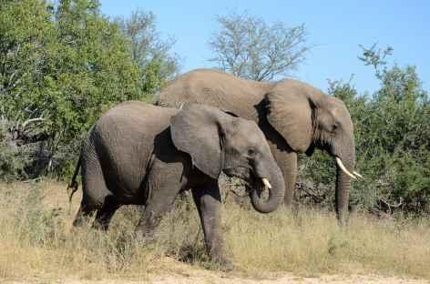 Eléphants dans le parc Kruger - Afrique du Sud -