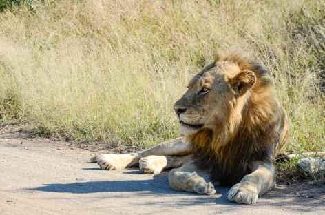 Un lion repu - Afrique du Sud -