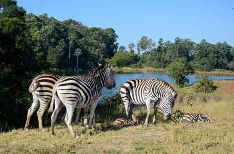 Zèbres, réserve de Mliwane - Swaziland -
