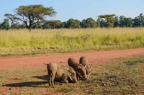 Phacochères, réserve de Mliwane - Swaziland -