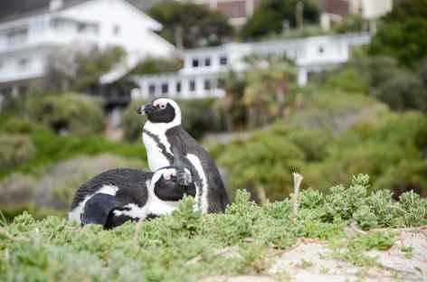 Manchots du Cap à Boulders- Afrique du Sud -