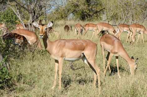 Impalas - Afrique du Sud -