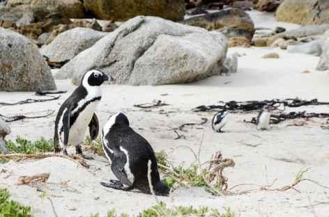 Manchots du Cap à Boulders - Afrique du Sud -