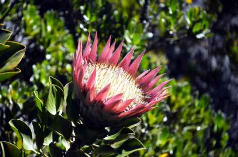 Protea - Afrique du Sud -
