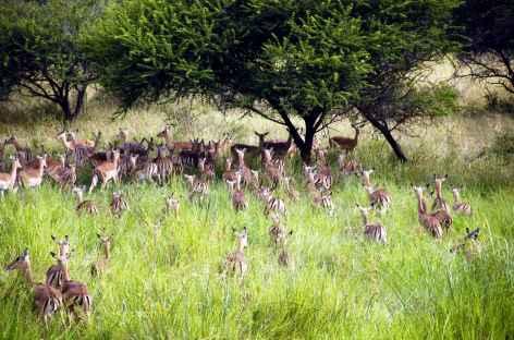 Impalas, Parc Kruger - Afrique du Sud -