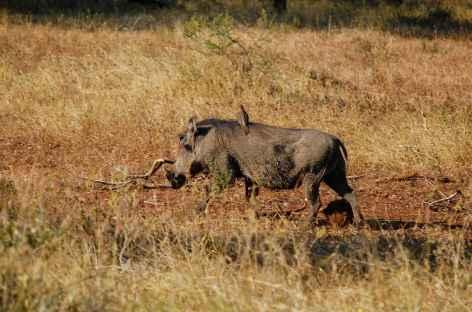 Phacochère, parc Kruger - Afrique du Sud -