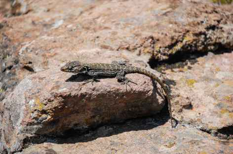 Lézard, montagnes du Drakensberg - Afrique du Sud -