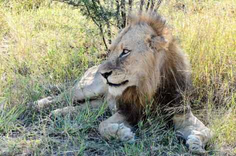 Lion, parc Kruger - Afrique du Sud -