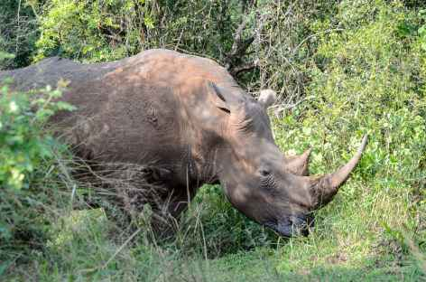 Rhinocéros blanc, réserve d'Ebandla - Afrique du Sud -