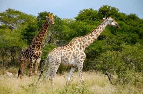 Zèbres dans le parc Kruger - Afrique du Sud -