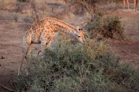 Girafe dans la réserve d'Ebandla - Afrique du Sud -