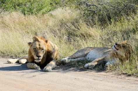Lions, réserve d'Ebandla - Afrique du Sud -