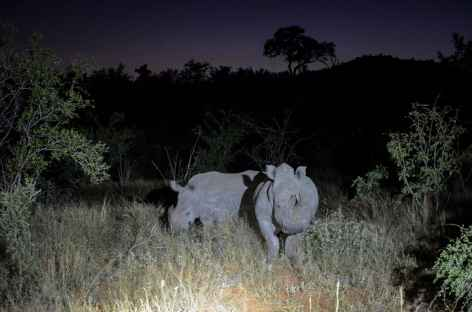 Observation des rhinocéros blancs en safari nocturne - Afrique du Sud -
