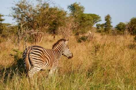 Zèbre dans le parc Kruger - Afrique du Sud -