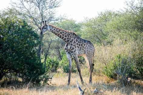Girafe, réserve de Hluhluwe-iMfolozi - Afrique du Sud -