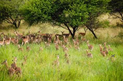 Impalas, réserve de Hluhluwe-iMfolozi - Afrique du Sud -