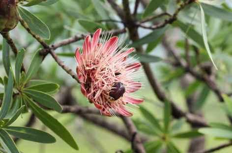 Protea, massif du Drakensberg - Afrique du Sud -
