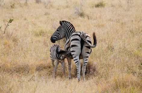 Zèbres, réserve de Hluhluwe-iMfolozi - Afrique du Sud -