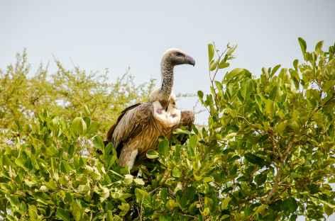 Vautour, réserve de Hluhluwe-iMfolozi - Afrique du Sud -