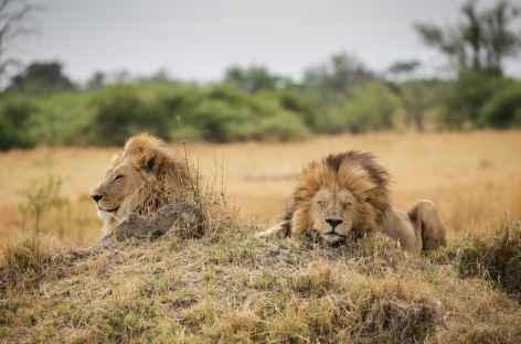 Duo de lions en pleine sieste, Réserve de Moremi - Botswana -