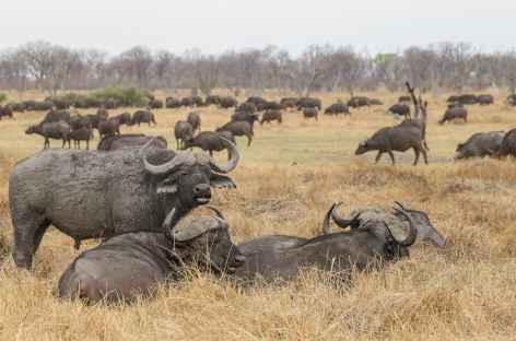 Troupeau de buffles, Réserve de Moremi - Botswana -