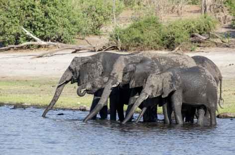 Eléphants à la rivière Chobe - Bostswana -