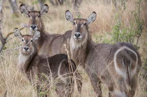 Cobes à croissant, Réserve de Moremi - Botswana -