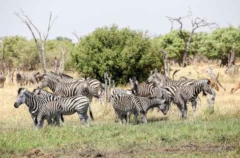 Zèbres dans la Réserve de Moremi - Botswana -