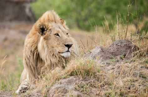 Lion - Botswana -