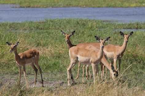 Impalas - Botswana -