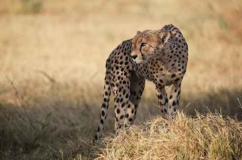 Guépard à l'affût, Réserve de Savuti - Botswana -