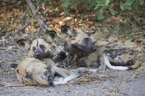 Troupeau de lycaons, Réserve de Moremi - Botswana -