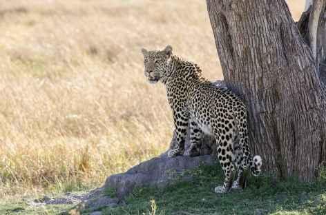 Léopard à l'affut, Réserve de Moremi - Botswana -