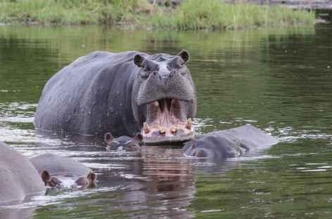Hippopotames dans la rivière Khwai, Réserve de Moremi - Botswana -