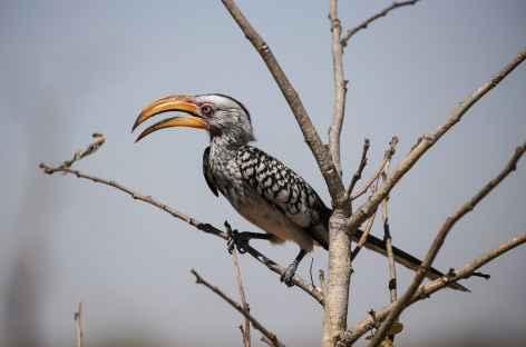 Calao terrestre - Botswana -