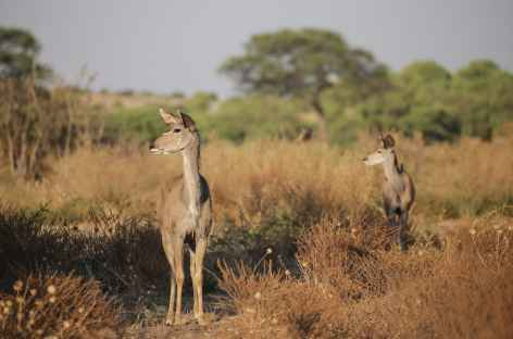 Deux grand koudous femelles, Parc national de Chobe - Botswana -