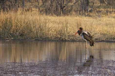 Saddlebilled Stork, réserve de Moremi - Botswana -
