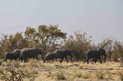 Troupeaux d'éléphants à Chobe - Botswana -