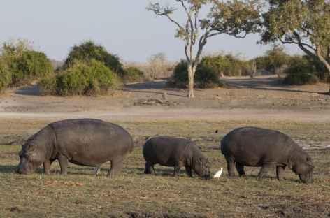 Hippopotames sur les rives de la rivière Chobe - Botswana -
