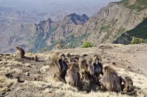 Babouins gelada du Simien - Ethiopie -