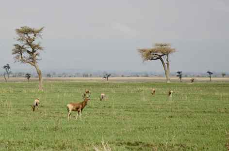 Bubales de Swayne, réserve de Senkele - Ethiopie -