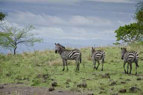 Zèbres dans le Parc national de Nechisar, lac Chamo, Vallée de l'Omo - Ethiopie -
