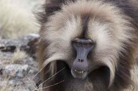 Babouins gelala, massif du Simien - Ethiopie -