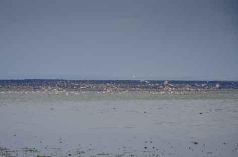 Flamants roses sur le lac Abyata - Ethiopie -