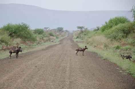 Lycaon, ou chien africain, à l'entrée du Parc national de Mago, Vallée de l'Omo - Ethiopie -