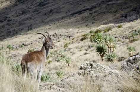 Bouquetin ibex walia, montagnes du Simien - Ethiopie -