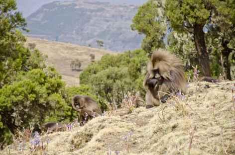 Babouins geladas, montagnes du Simien - Ethiopie -