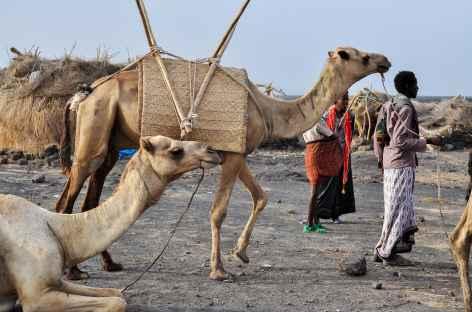 Dromadaires au camp de base du volcan Erta Ale, Ethiopie -