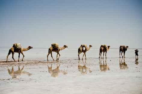 Caravanes de dromadaires chargés de sel, Danakil - Ethiopie -